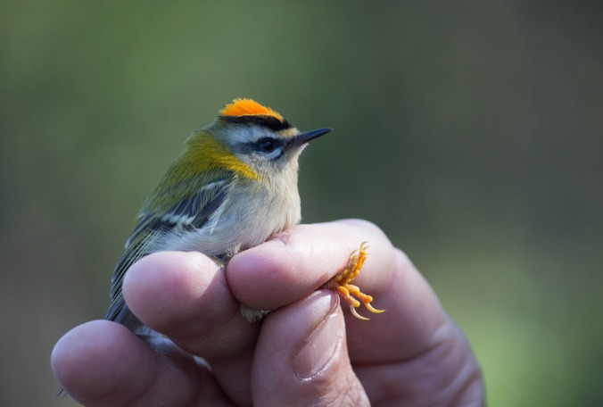 mya bambrick - birding ringing