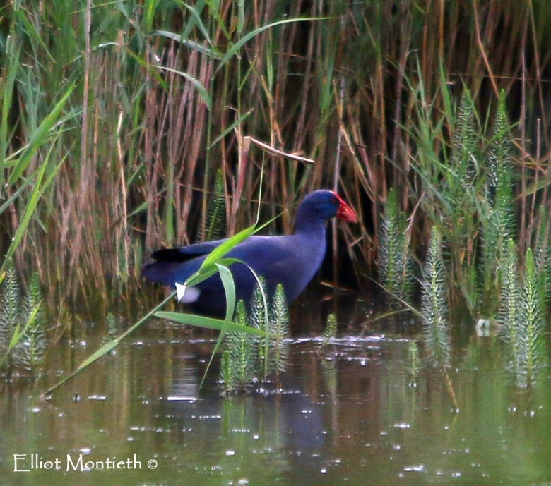 Minsmere - Western Purple Swamphen (1st for Britain)_edited-1