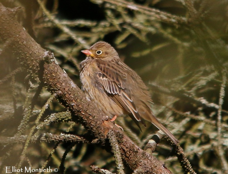 Ortolan Bunting showing well at Nant, Bardsey Island_edited-1