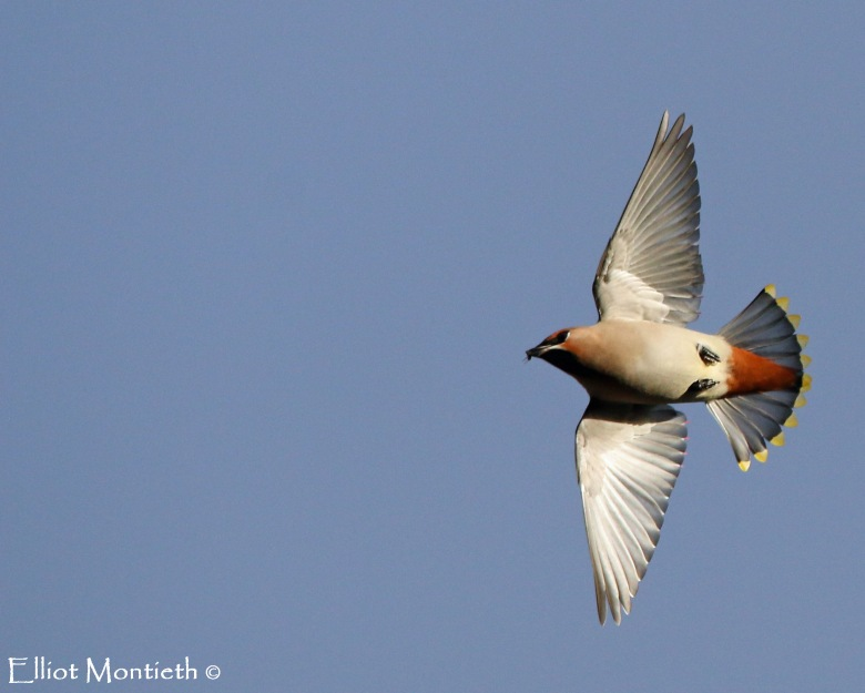 flycatching-waxwing_edited-1