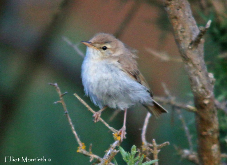front-view-of-booted-warbler_edited-1