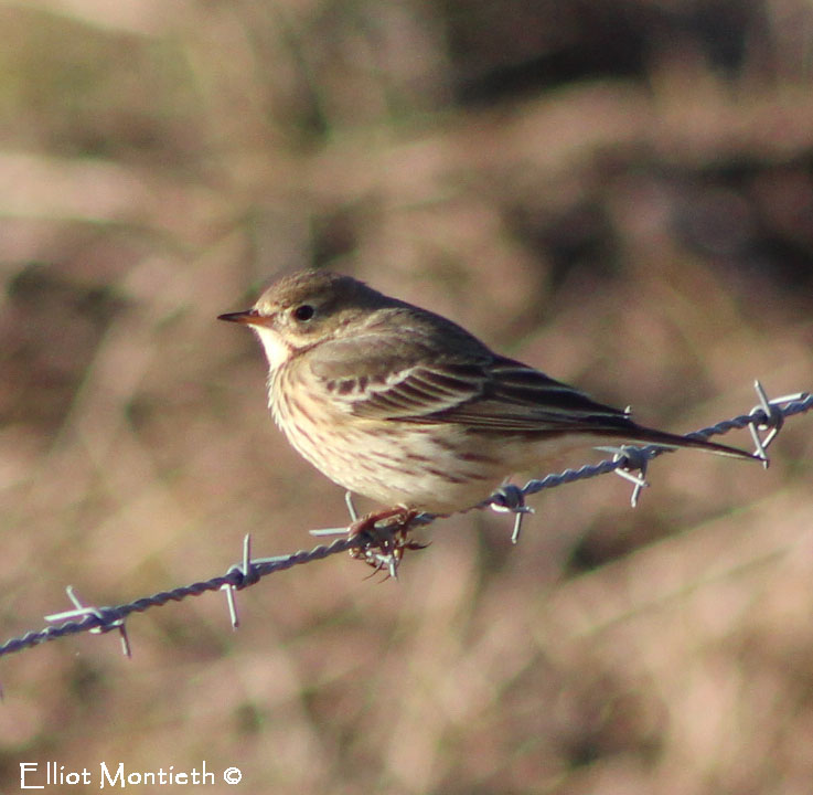 non-photoshoped-image-of-ruff-bellied-pipit-copy