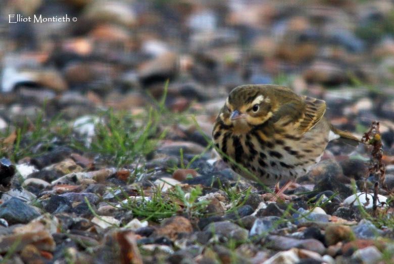 olive-backed-pipit-at-easington_edited-1