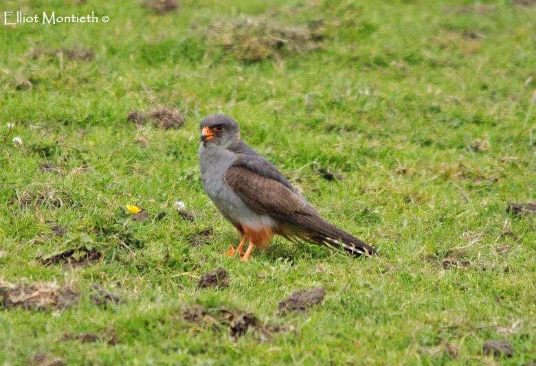 red-footed-falcon-copy