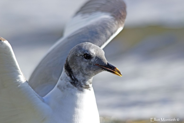 sabines-gull-not-cropped-copy