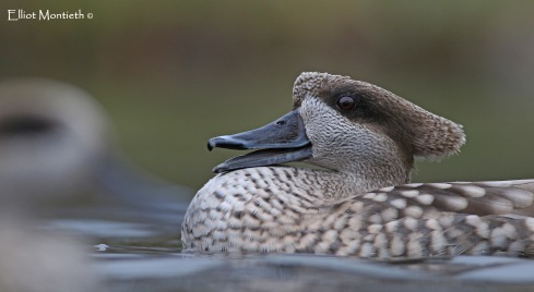 wwt-martin-mere-marbled-teal_edited-1