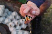 Cream spotted Tigar (Epicallia villica) - A moth tick for me (Image - Ben Porter)