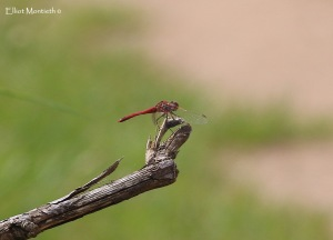Red-vained Darter_edited-1
