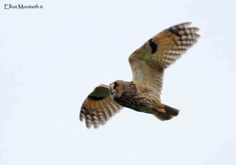 Long-eared Owl @Bardsey_edited-1