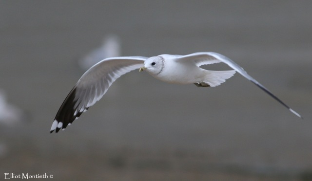 LDN Common Gull